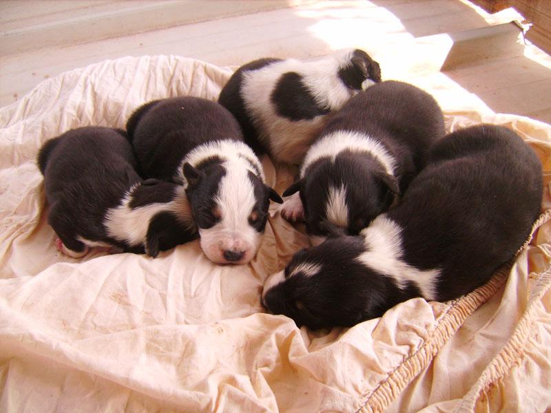 Nos petit bébé Border collie ( video de la tété page 1= new photos page 2 ) 7896510