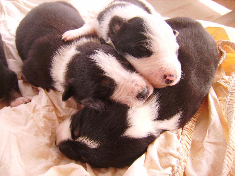 Nos petit bébé Border collie ( video de la tété page 1= new photos page 2 ) 8566810