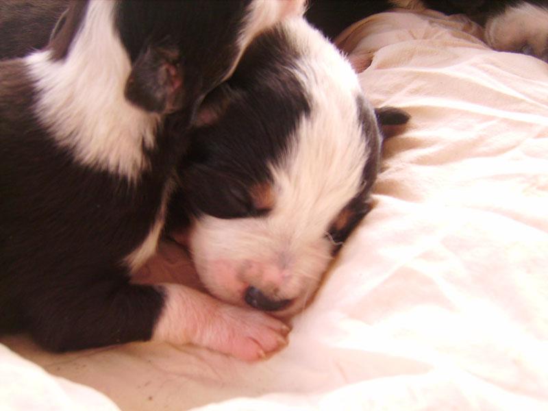 Nos petit bébé Border collie ( video de la tété page 1= new photos page 2 ) 8978910