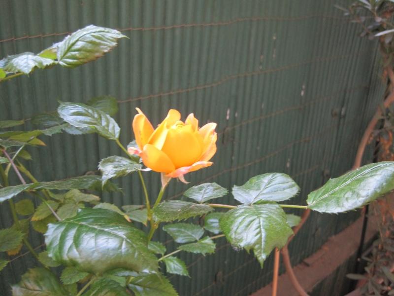 ma première Pierre de Ronsard Rose_o10