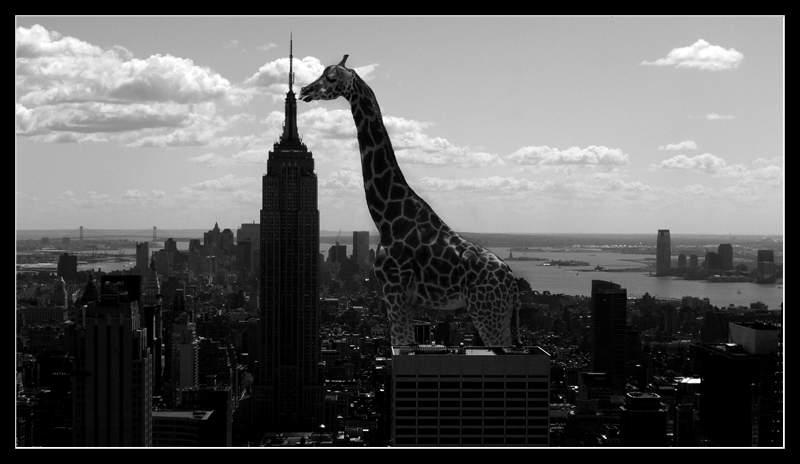 Les plus grands du monde ! - Page 7 Girafe10