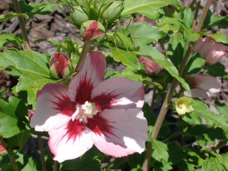 Bouturer l' Hibiscus syriacus - Page 3 Hamabo10