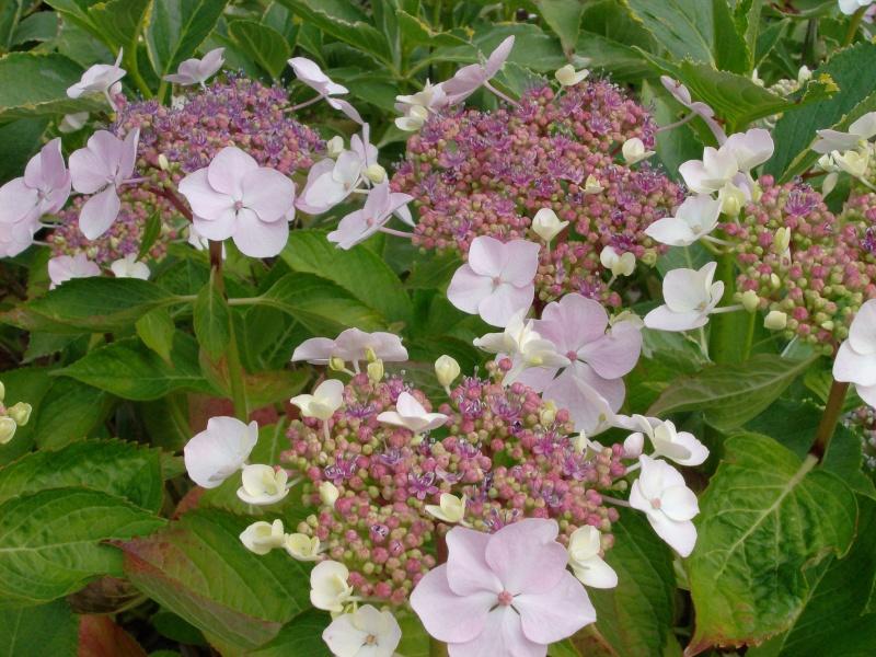 Le bouturage par Lou, de  Hibiscus rosa sinensis et autres! Horten13