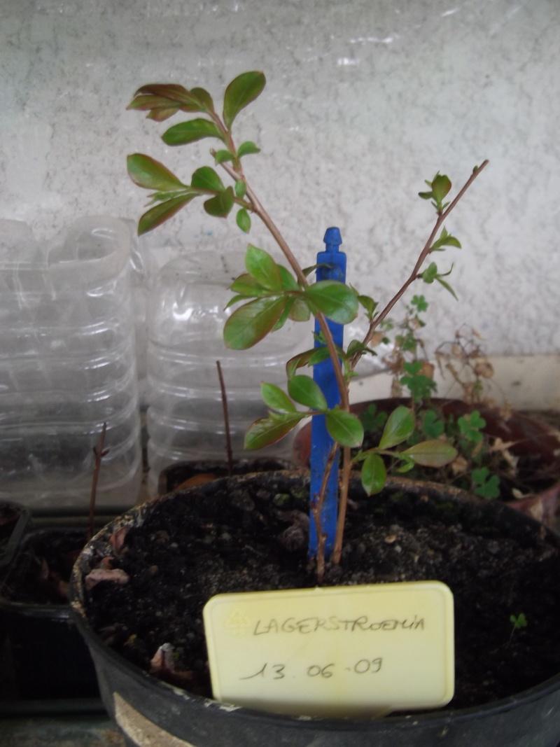 Bouturer le lilas des Indes (lagestroemia) - Page 2 Photo111