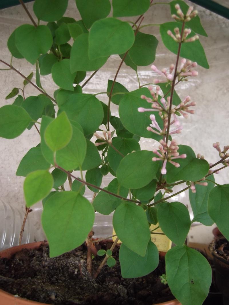 Le bouturage par Lou, de  Hibiscus rosa sinensis et autres! Photo113
