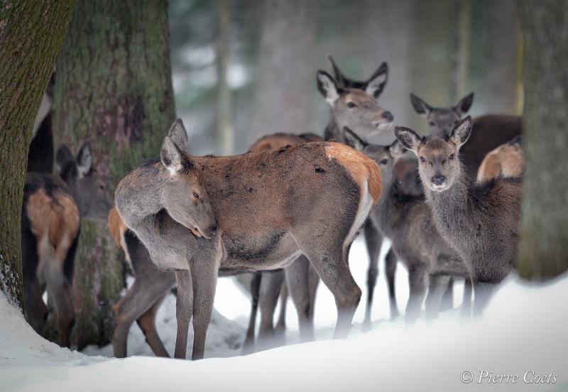 Parc animalier de Saint Hubert en hiver Pie_0910