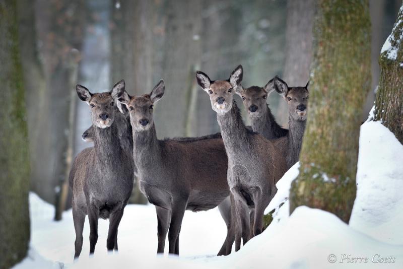 Parc animalier de Saint Hubert en hiver Pie_0912