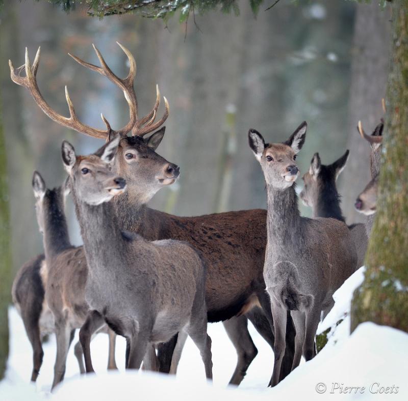 Parc animalier de Saint Hubert en hiver Pie_1010