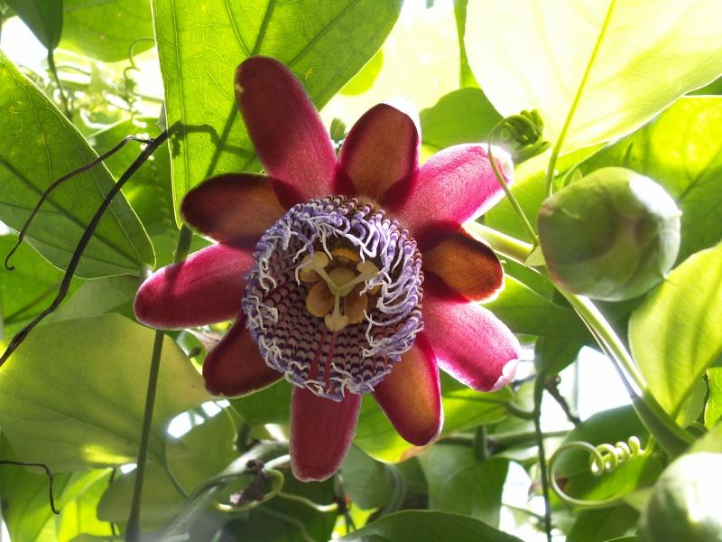 une merveille (Passiflora caerulea) Auteui10