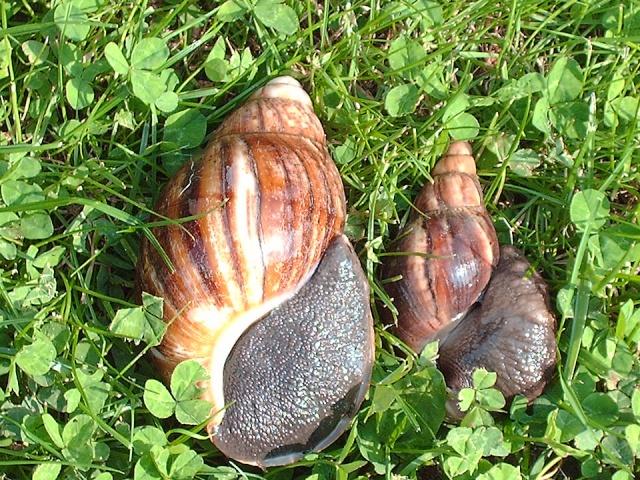 Achatina fulica et archachatina marginata Image308