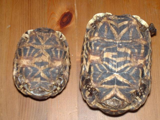 tortues étoilées d'Inde, mâle ou femelle? - Page 2 Image512