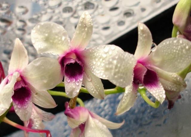 Buonanotte - Pagina 22 Orchid10