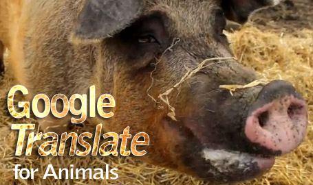 A proposito di maiali Google10