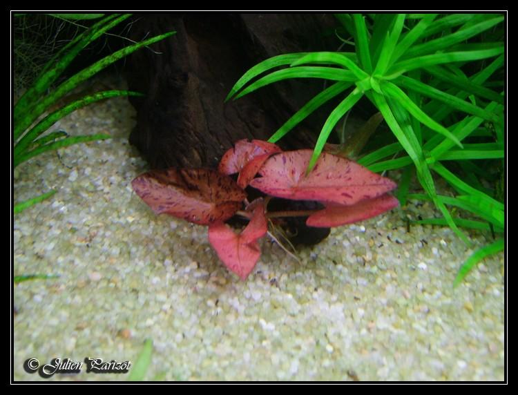 nymphaea lotus linné Dscf1810