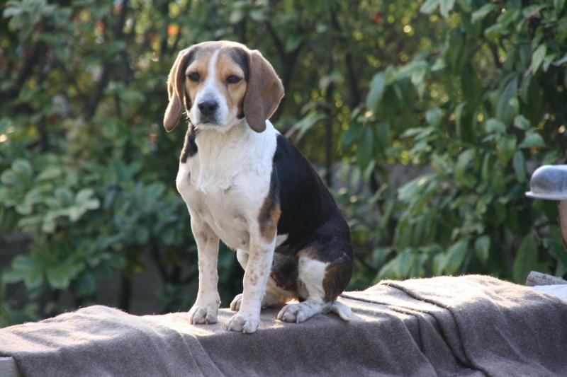 PEPETTE, beagle femelle, 2 ans (46) Img_6211