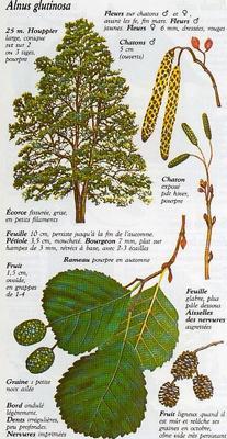 PLANTES, GRAINES , BAIES SAUVAGE . POUR LES OISEAUX DE NOS REGION . Aulne110