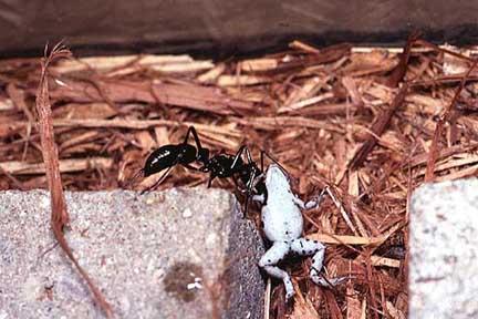 des fourmis en vivarium !!!!!! Frog10