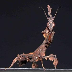 une autre de mes passion grandissante (( les mantes )) Mantis10