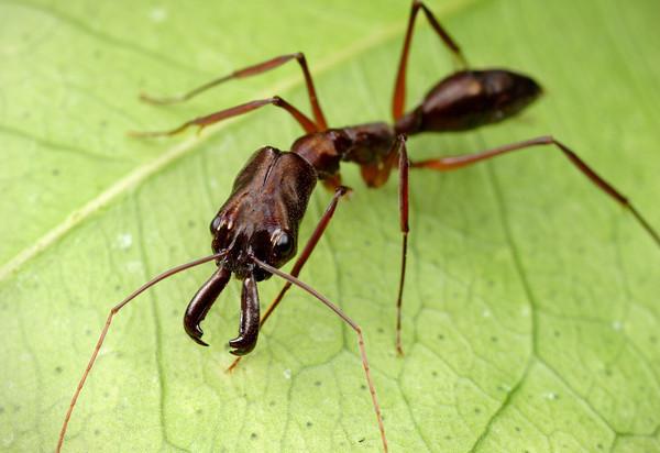 des fourmis en vivarium !!!!!! Odonto11