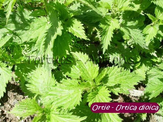 PLANTES, GRAINES , BAIES SAUVAGE . POUR LES OISEAUX DE NOS REGION . Ortieu10