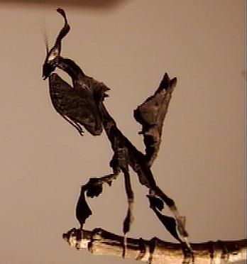 une autre de mes passion grandissante (( les mantes )) Phyllo10