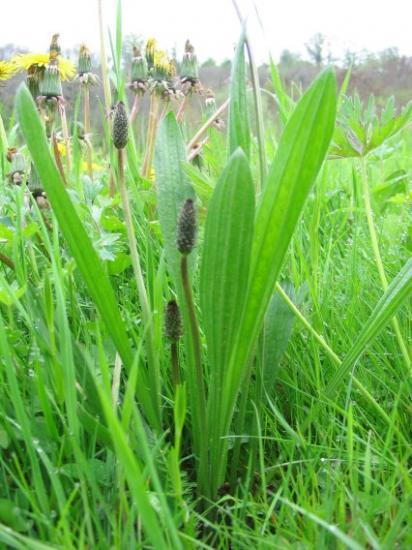 PLANTES, GRAINES , BAIES SAUVAGE . POUR LES OISEAUX DE NOS REGION . Planta10