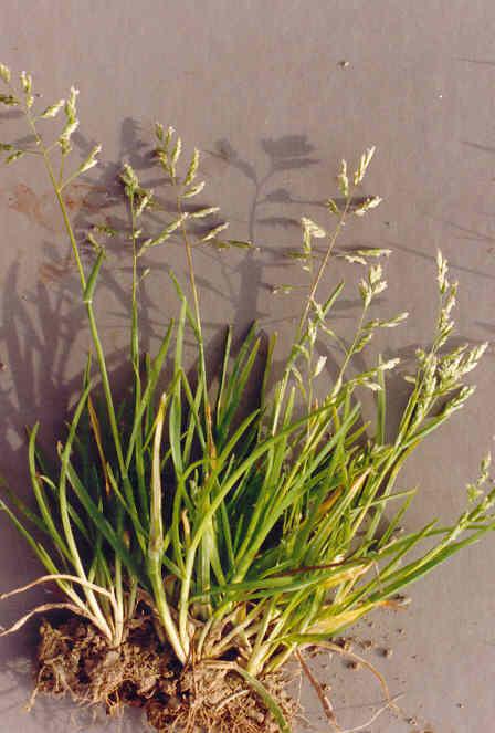 PLANTES, GRAINES , BAIES SAUVAGE . POUR LES OISEAUX DE NOS REGION . Poa_an10