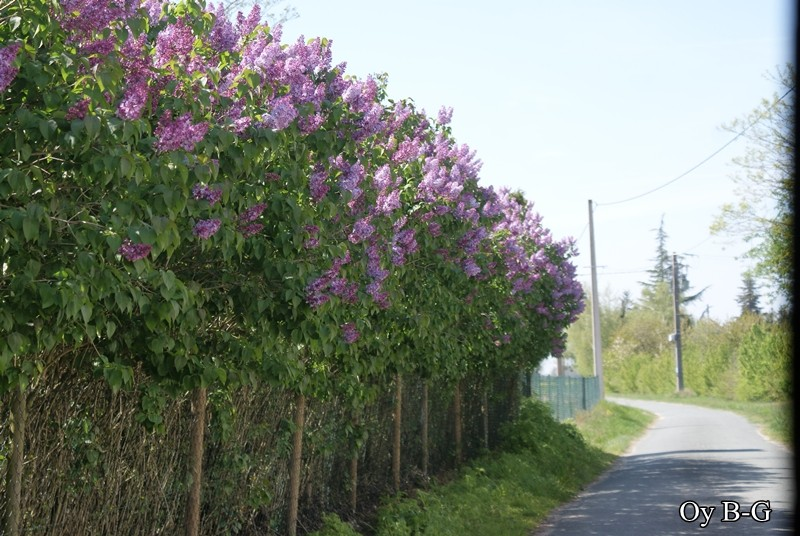 Lilas - Page 2 2010_015