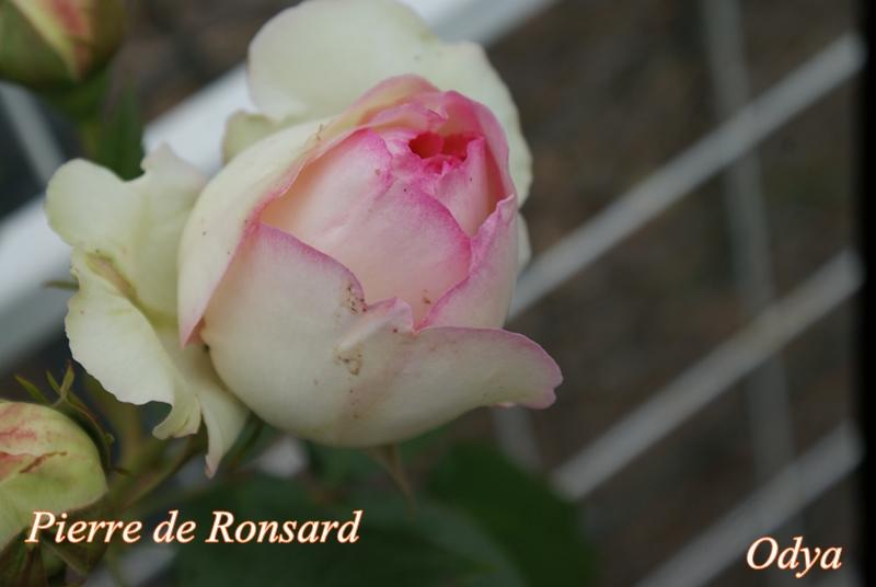 """Rosier Eden """"Pierre Ronsard"""" 2010_j35"""