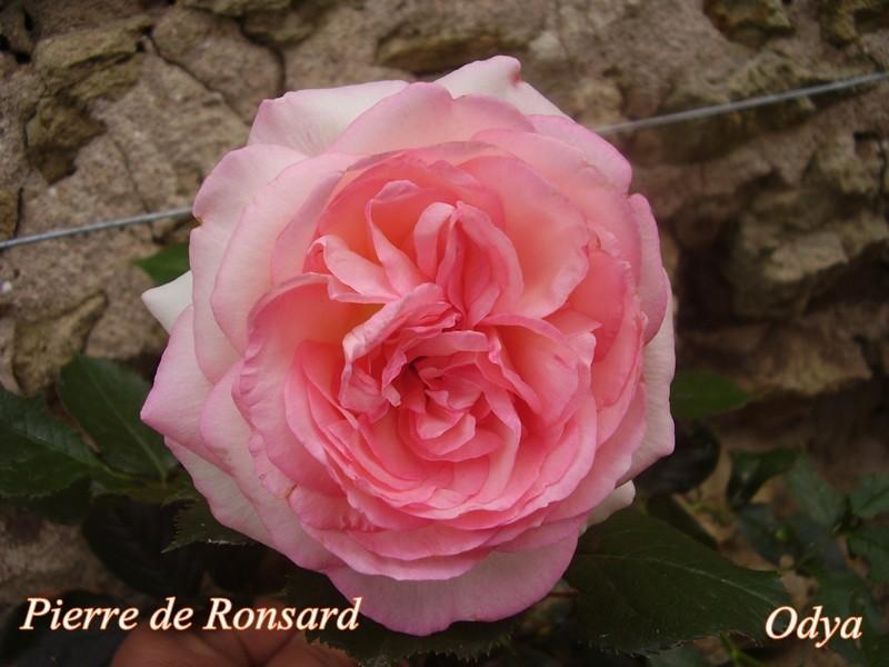 """Rosier Eden """"Pierre Ronsard"""" 2010_j36"""