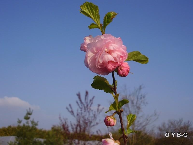 Prunus Copie_41
