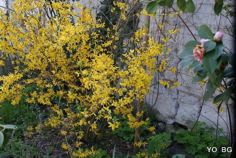 Forsythia Fleurs28