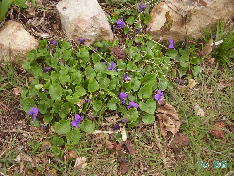Les violettes P3190016