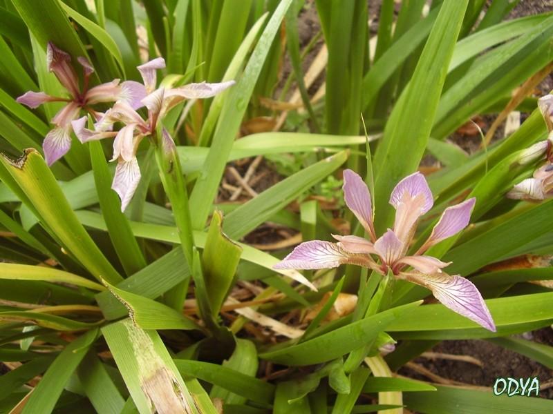 Iris P6090211