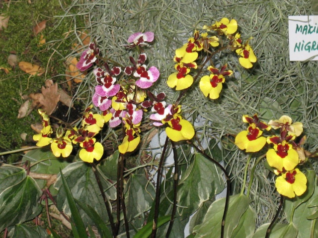 expo orchidees vergeze 2009 Img_1612