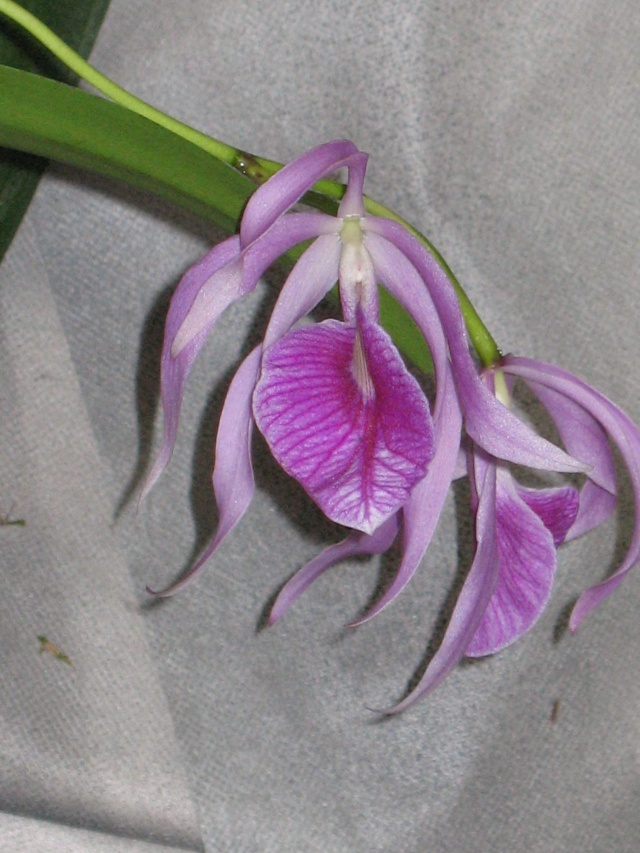 expo orchidees vergeze 2009 Img_1715