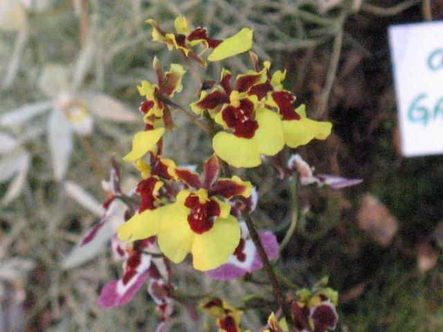 expo orchidees vergeze 2009 Img_1717