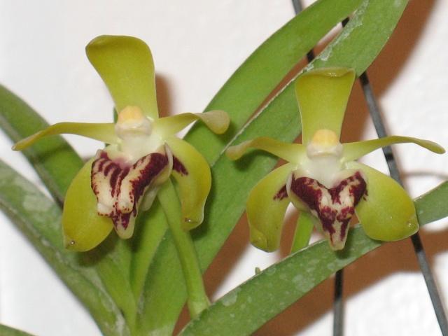mes orchidées Img_1734