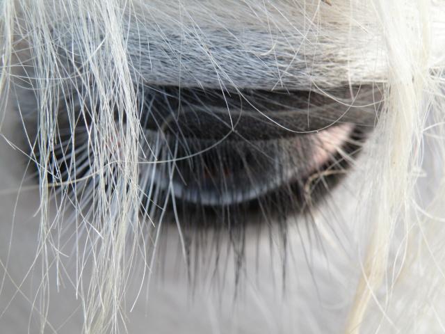 Le pie-noir aux yeux bleus Oeil_m10