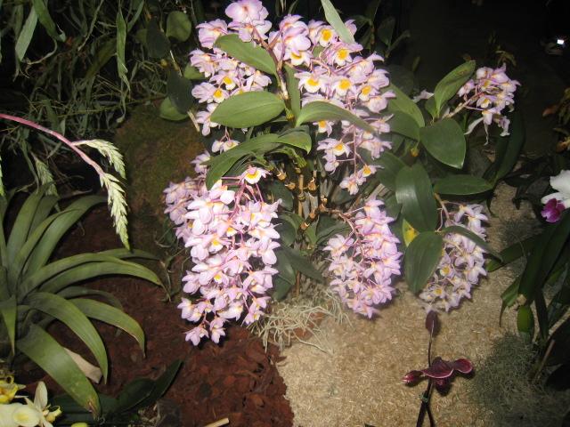 Expositions d'orchidées et de bonsaïs à salignac Eyvigues Img_3332