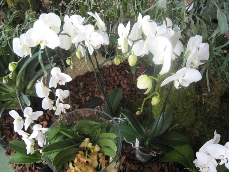 Expositions d'orchidées et de bonsaïs à salignac Eyvigues Img_3333