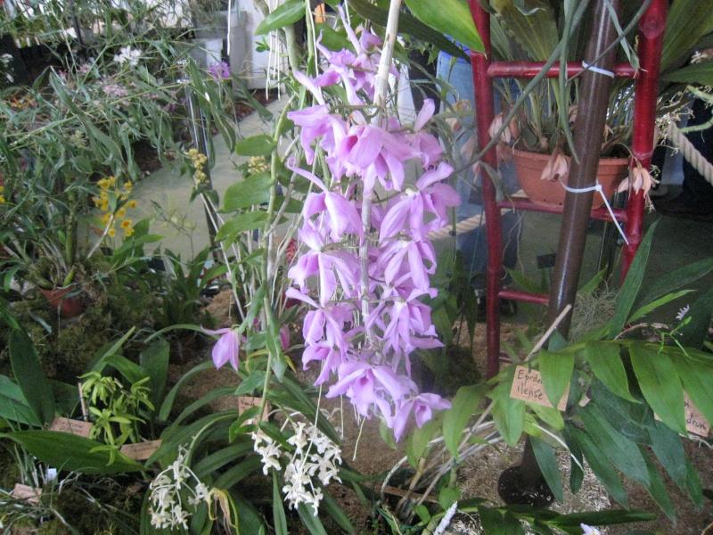 Expositions d'orchidées et de bonsaïs à salignac Eyvigues Img_3337