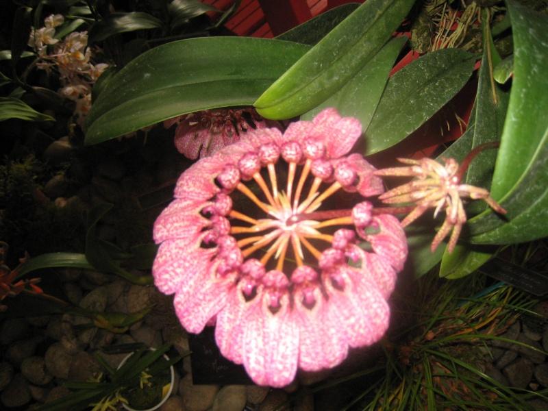 Expositions d'orchidées et de bonsaïs à salignac Eyvigues Img_3345