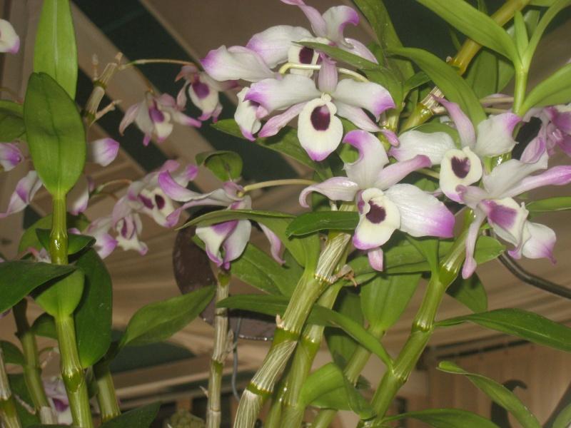 Expositions d'orchidées et de bonsaïs à salignac Eyvigues Img_3350