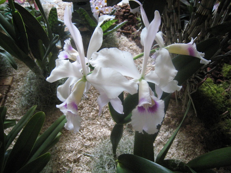 Expositions d'orchidées et de bonsaïs à salignac Eyvigues Img_3353