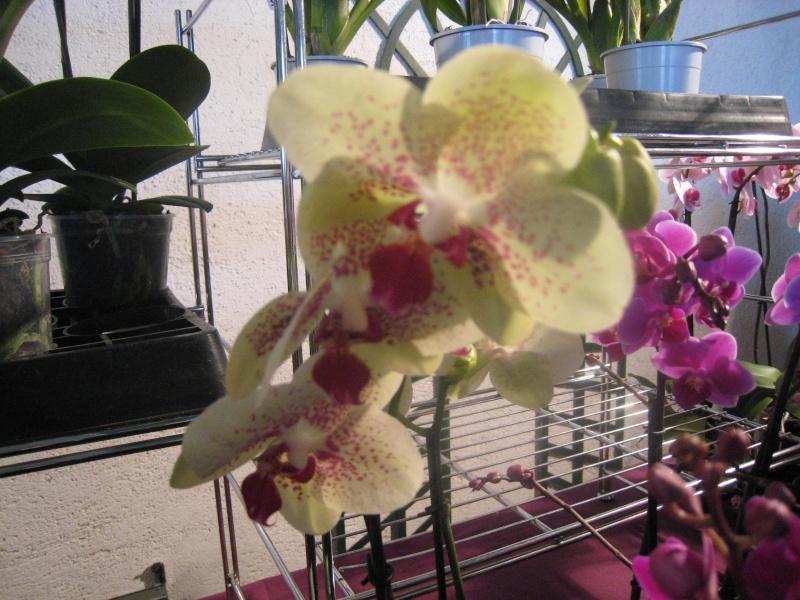 Expositions d'orchidées et de bonsaïs à salignac Eyvigues Img_3419