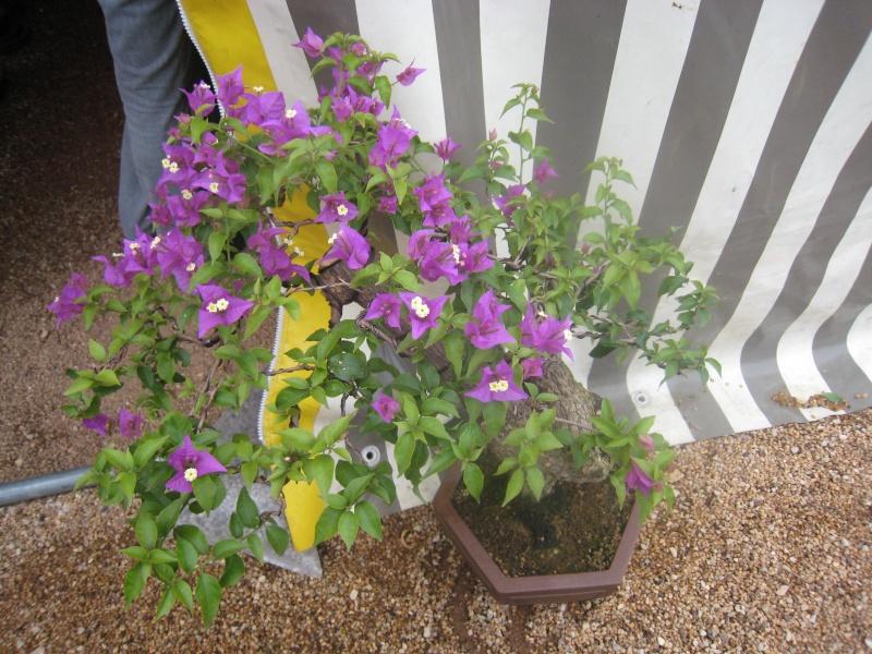 Expositions d'orchidées et de bonsaïs à salignac Eyvigues Img_3421