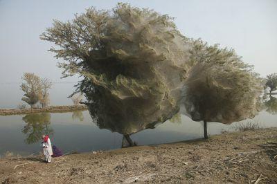 PAKISTAN - Arbres aux Araignées Araign10