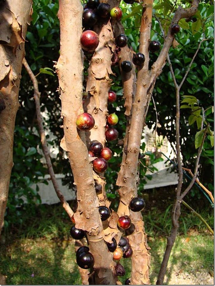 Le Jabuticaba ... L'arbre dont les fruits sont sur son tronc. Arbre111