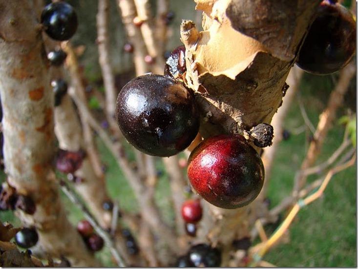 Le Jabuticaba ... L'arbre dont les fruits sont sur son tronc. Arbre212